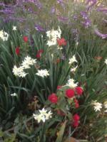 Lantana, Narcissus and Mexican Sage