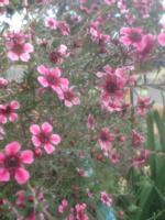 Australian Tea Tree (Leptospermum laevigatum)