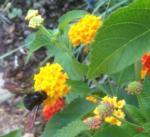 Bee-utiful Lantana